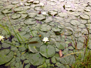 Blooming lilies in the pond.
