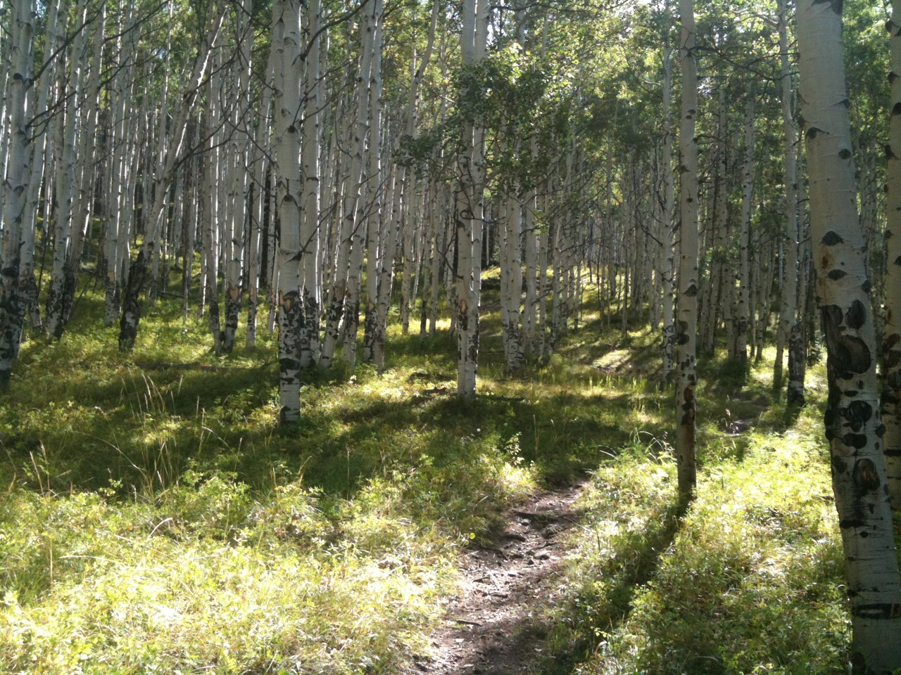A trail through an aspen grove near the cabin.